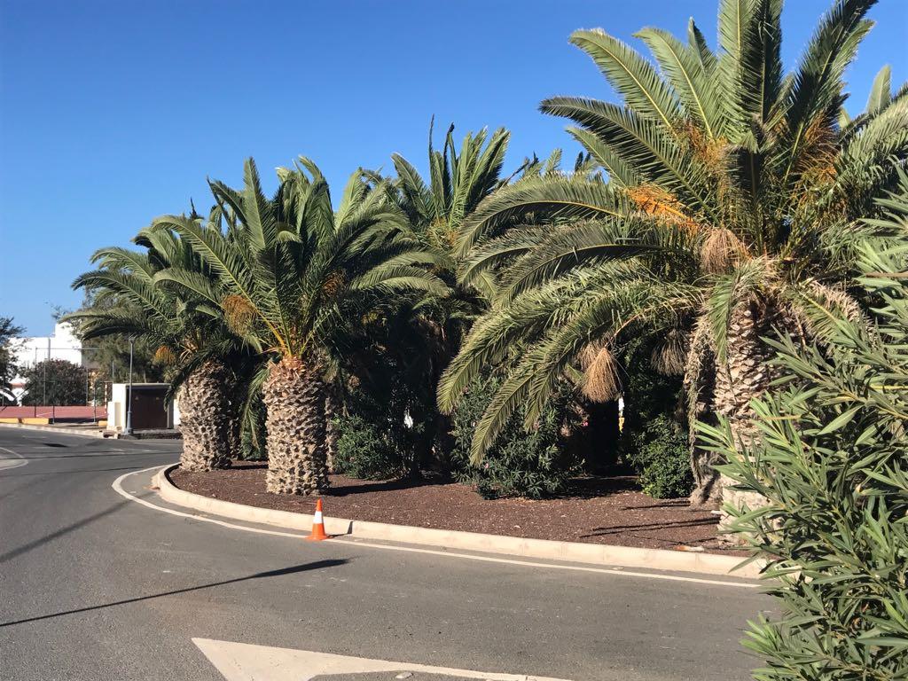 El Ayuntamiento completa la mejora de unas 150 palmeras en Ajuy